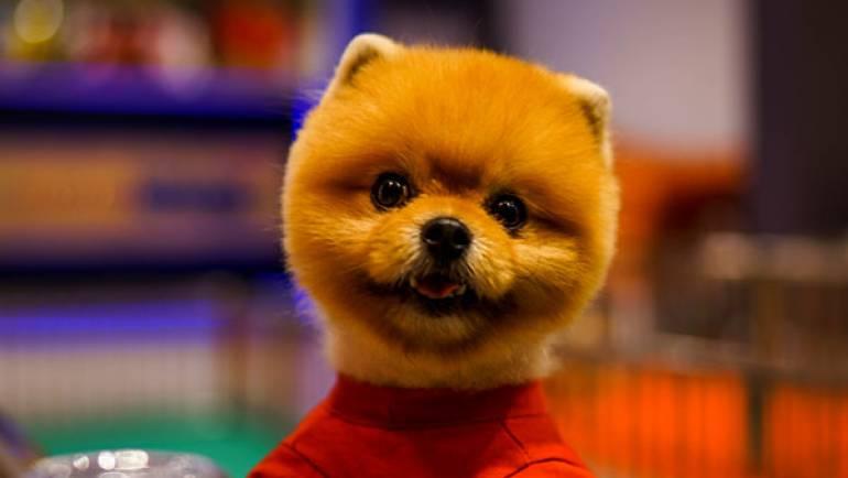 Pomeranian Boo – Bamby