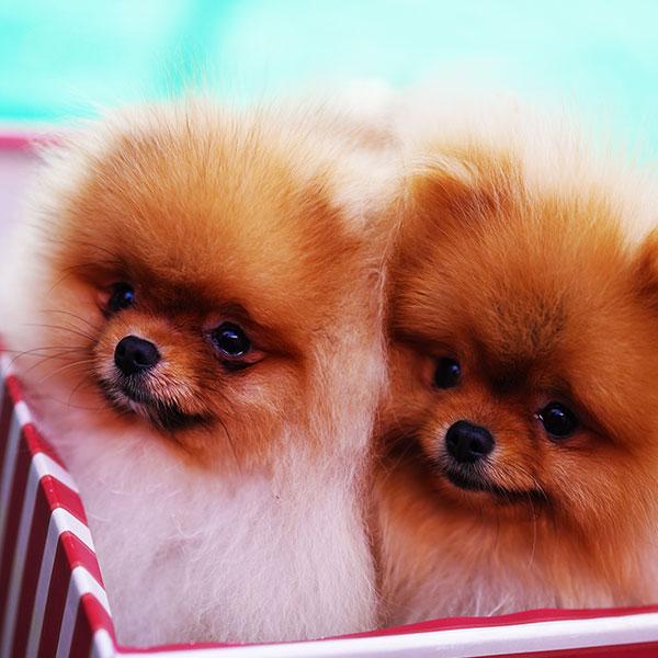 Pomeranian Boo – Camel