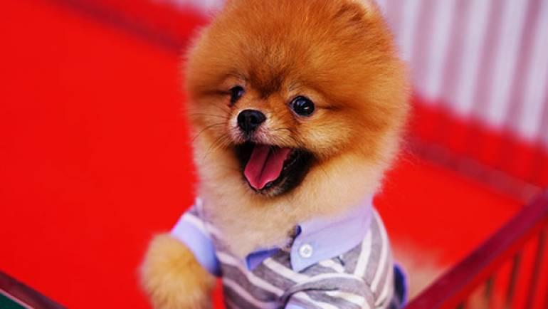 Pomeranian Boo – Keos