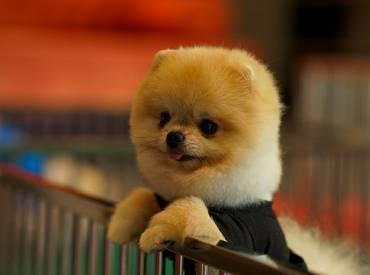 Pomeranian Boo – Oscar