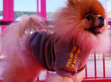 Pomeranian Boo – Ponçit