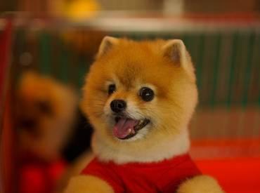 Pomeranian Boo – Roller