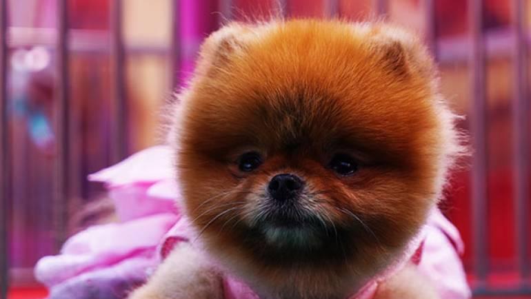 Pomeranian Boo – Rottena