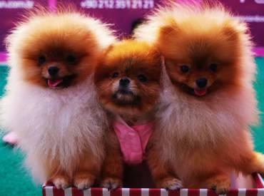 Pomeranian Boo – Teacup