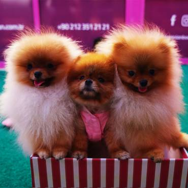 Pomeranian Boo — Teacup