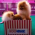 Pomeranian Boo House by Serkan Kömür